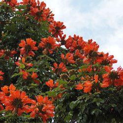 cay-phuong-hoang-do