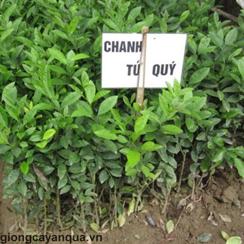 chanh-tu-quy