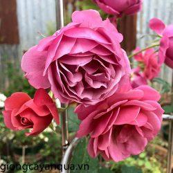 hoa hong-ngoai-aoi-rose