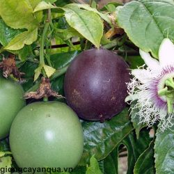 meczennica-jadalna-passiflora-edulis-iloc-nasion-12szt